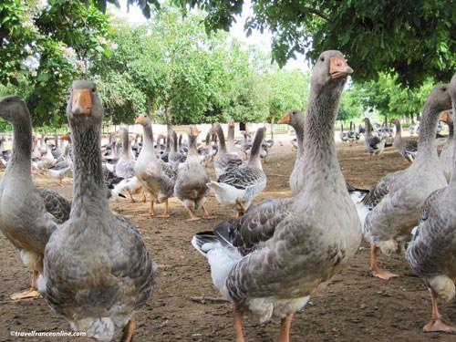Geese in Perigord - Dordogne