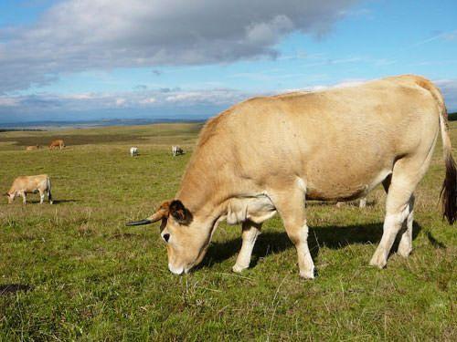 Aubrac cows grazing