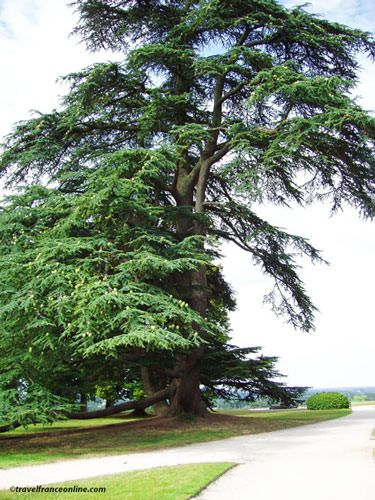 Chateau de Chaumont sur Loire - Cedar of Lebanon in the park