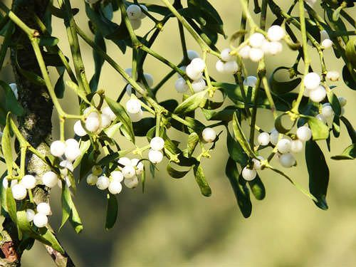 christmas plants mistletoe berries - Mistletoe Christmas