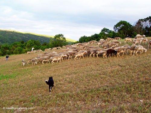 Sheepdog herding the Lacaune ewes