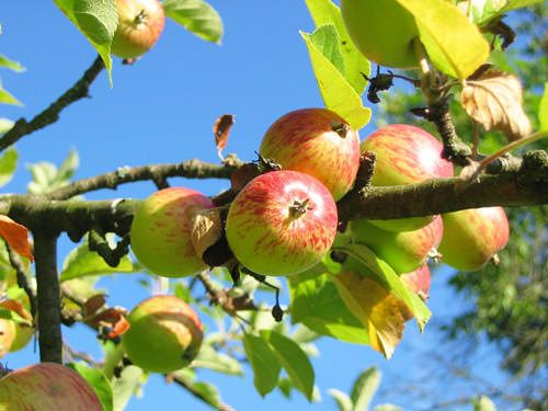About Normandy - Normandy apples