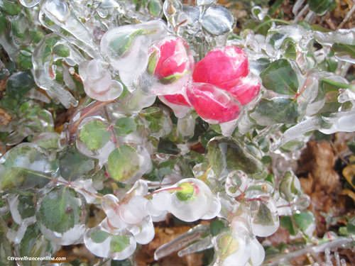 Rose caught in ice - April Frost
