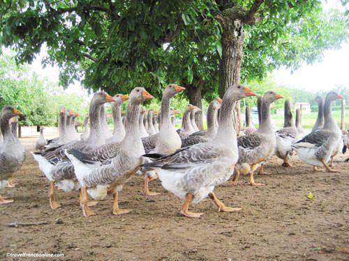 Geese in Périgord