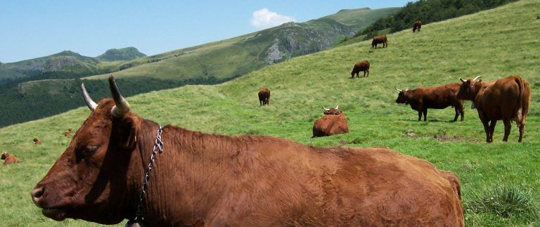 Salers Cheese and Cows in Massif Central