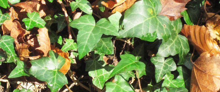 Ivy – Christmas Plants – Symbolism – Origin