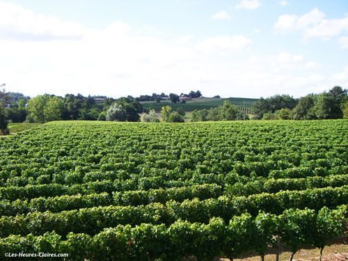 Gaillac wine - vineyard