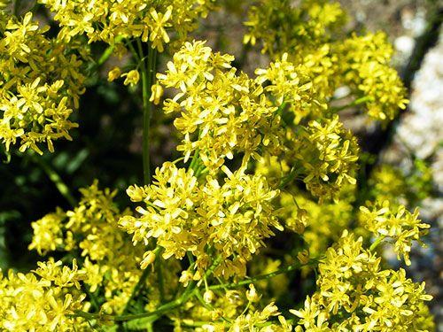 Isatis Tinctoria grown near Albi