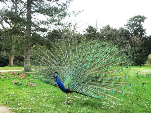 Chateau de Bagatelle - peacock
