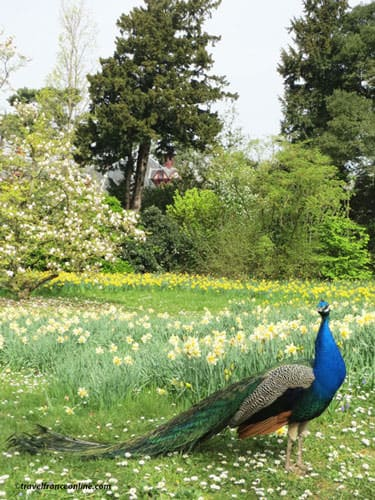 Peacock in the park of the Chateau de Bagatelle