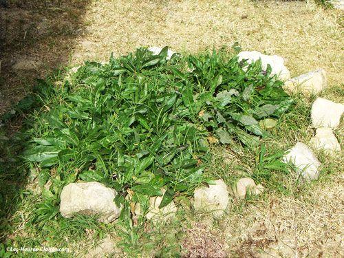 Pastel plant - isatis tinctoria