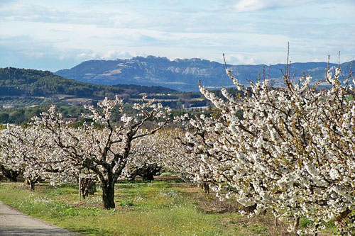 Cherry-trees and Dentelles de Montmirail near Venasque