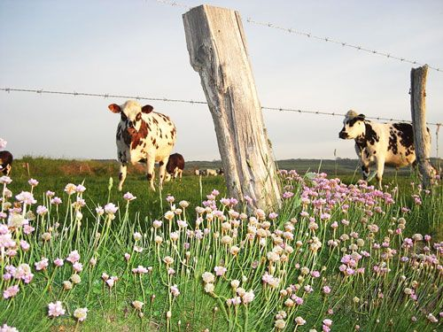 Cows on the Cote Fleurie