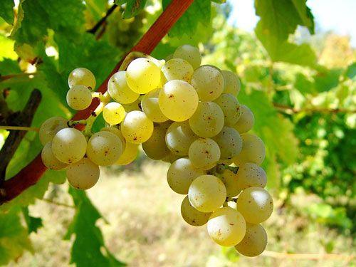 Centre-Loire Vineyard - Sauvignon Blanc grape variety