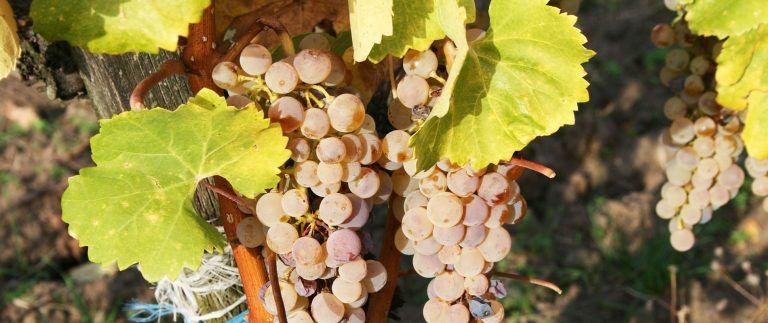 Anjou-Saumur Vineyard – Appellations – Loire
