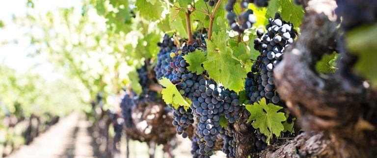 Premieres Cotes de Bordeaux wines – Vineyard