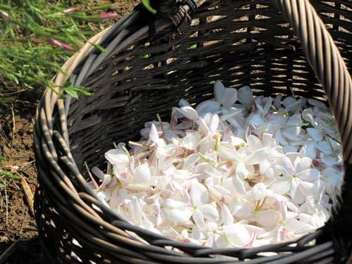 Grasse - jasmine