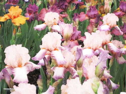 Grasse - iris - tuberose