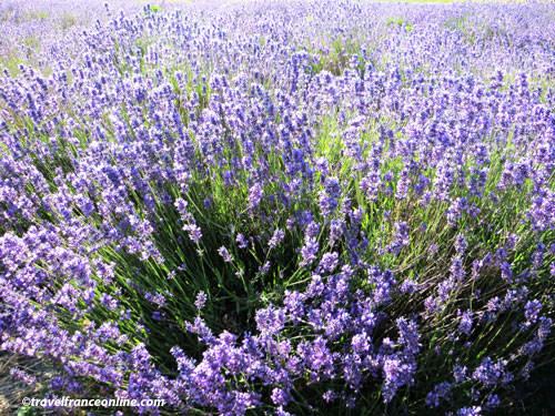 Grasse - lavender
