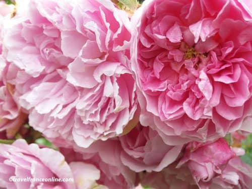 Grasse - rose centifolia