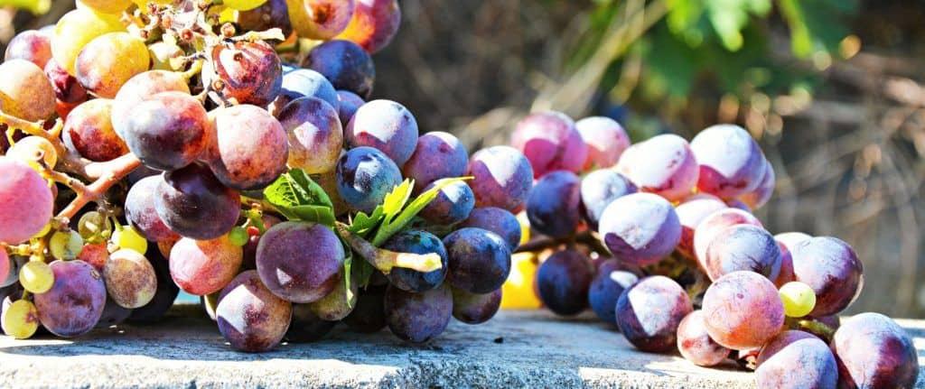 Grapes for Beaujolais Nouveau