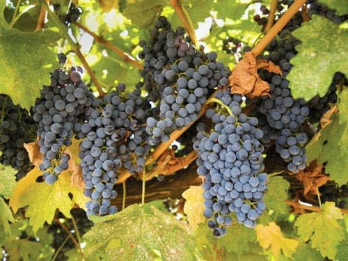 Gamay grape - Beaujolais Vineyard