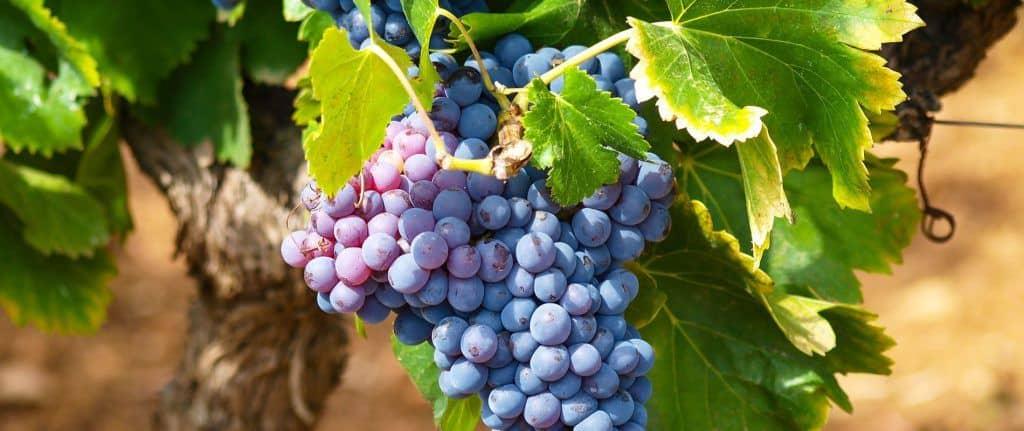 Beaujolais Vineyard - Gamay grape