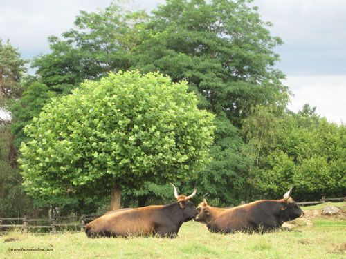 Le Thot - auroch