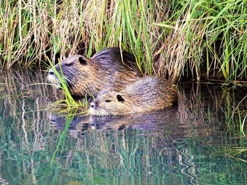 Nutria in the Poitevin Marsh
