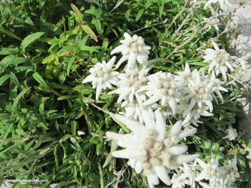 French Alps Flora - Edelweiss