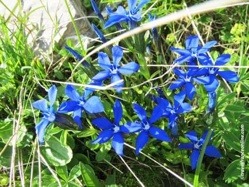 French Alps Flora - Gentiane de Baviere - Bavarian gentian