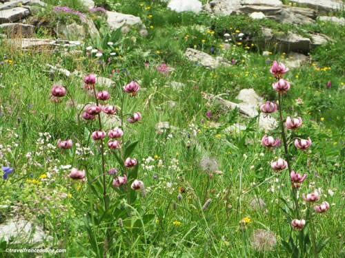 French Alps Flora - Lys Martagon