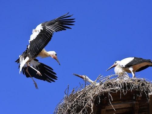 The stork that delivers babies - Storks nest on a chimney