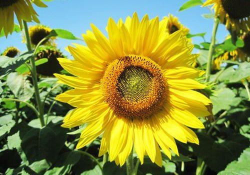 Sunflowers in Perigord - Dordogne