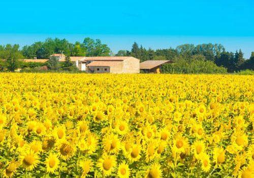 Sunflowers in Aquitaine