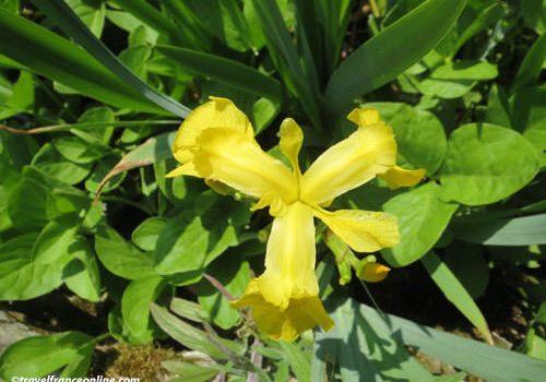 Fleur de Lys - yellow iris